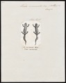 Triton marmoratus - 1700-1880 - Print - Iconographia Zoologica - Special Collections University of Amsterdam - UBA01 IZ11400127.tif