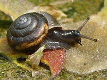 An individual of Trochulus hispidus, a stylommatophoran land snail in the family Hygromiidae within the Helicoidea
