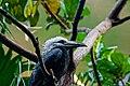 Tropicranus albocristatus -Central Park Zoo-6c.jpg
