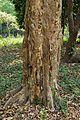 Trunk - Terminalia arjuna - Indian Botanic Garden - Howrah 2013-03-31 5733.JPG