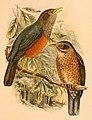 Turdus poliocephalus celebensis 1898.jpg