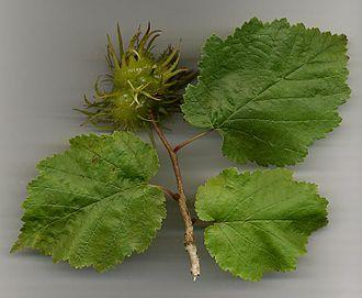 Corylus colurna - Turkish hazel leaves and nuts