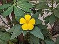 Turnera ulmifolia 35.jpg