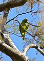 Turquoise-fronted Parrot (Amazona aestiva) (30940234574).jpg