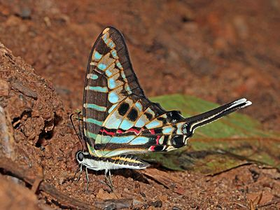 Turquoise-spotted swallowtail (Graphium policenes) underside.jpg