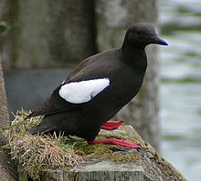A black sea bird with a black beak, red feet and a prominent white flash on its wing sits on a shaped stone. The stone is partially covered with moss and grass and there is an indistinct outline of a grey stone wall and water body in the background.