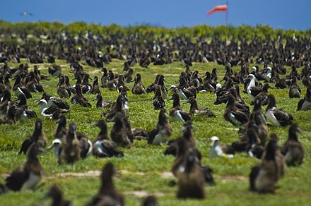 Albatrosses at Midway Atoll US Navy 100602-N-7498L-021 More than a million Laysan Albatrosses occupy the entire Midway atoll.jpg