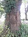 Ulmus glabra (smooth light-green leaved, red-barked), North Merchiston Cemetry, Edinburgh (3).jpg