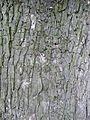 Ulmus laevis bark Eibergen.jpg