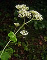 Valeriana alliariifolia 5.jpg