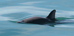Description de l'image  Vaquita4 Olson NOAA.jpg.