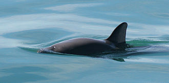 The vaquita, the world's most endangered marine mammal, has been reduced to only 30 individuals as of February 2017. They are often killed by commercial fishing nets. As of March 2019, only 10 remain, according to The International Committee for the Recovery of the Vaquita. Vaquita4 Olson NOAA.jpg