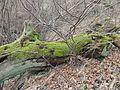 Vecchio tronco - panoramio.jpg