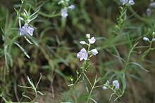 Veronica (plant).jpg