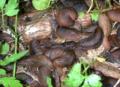 Veronicella cubensis 5.png