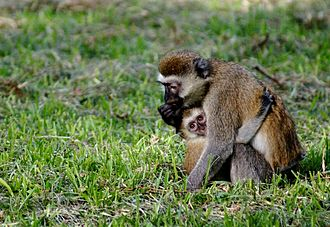 Alloparenting - Vervet monkey with young in Tanzania