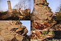 Very huge Trametes hirsuta (Hairy Bracket, D= Striegelige Tramete, F= Tramète hirsute, NL= Ruig elfenbankje) white spores and causes white rot, at Waterstraat Velp - panoramio.jpg