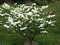 Viburnum plicatum var plicatum1.jpg