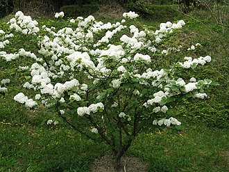 Viburnum - Viburnum plicatum var. plicatum