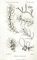 Vickersia canariensis.jpg