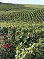 Vigne Pinot noir (Chatillon sur Marne) Cl.J.Weber02 (23677740015).jpg