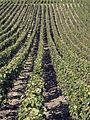 Vigne Pinot noir (Chatillon sur Marne) Cl.J.Weber04 (23382062880).jpg