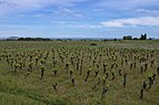 Vineyard, Pinet, Hérault 08.jpg