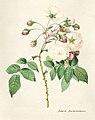 Vintage Flower illustration by Pierre-Joseph Redouté, digitally enhanced by rawpixel 28.jpg