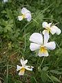 Viola calcarata 001.JPG