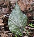 Viola vaginata (leaf s2).jpg