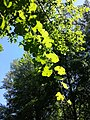 Vitis vinifera subsp. sylvestris sl10.jpg