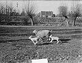 Voorjaar schapen met lammeren, Bestanddeelnr 905-0106.jpg