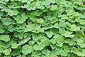 Waldsauerklee (Oxalis acetosella) 1.jpg