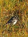 Water Pipit (Anthus spinoletta) (15709056960).jpg