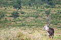 Waterbuck (4125212391).jpg