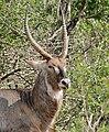 Waterbuck (Kobus ellipsiprymnus) male (31436765213).jpg