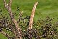 Western meadowlark (31526099212).jpg