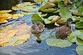 Westfalenpark-100818-17146-Gallinula-chloro.jpg