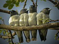 White-breasted Woodswallow - Papua New Guinea B8 (19541552104).jpg