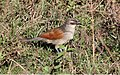 White-browed Coucal (Centropus superciliosus) (46547859021).jpg