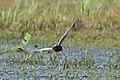 White-winged Tern (Chlidonias leucopterus) (14363738761).jpg