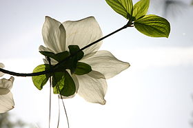 White Backlit Pacific Dogwood Flower in Yosemite Valley.JPG