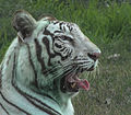 White Royal Bengal Tiger (Dilbag) of Chandigarh Zoo, India..jpg