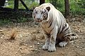 White Tiger at Nehru Zoological park.jpg