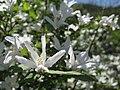 White flowers (5750160465).jpg