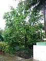White jade orchid tree (621640646).jpg