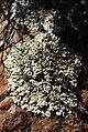 White lichen (2666315073).jpg