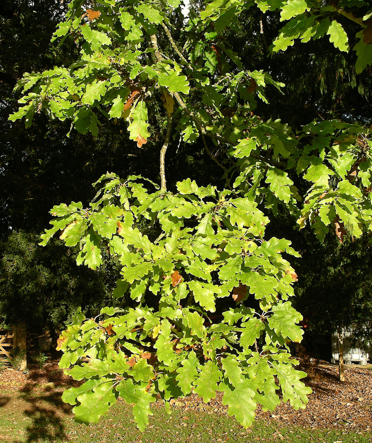 White Oak Fruit ~ Quercus alba — wikipédia