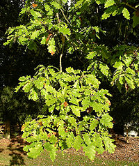 White oak foliage.JPG