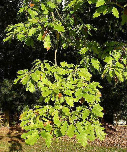 File:White oak foliage.JPG